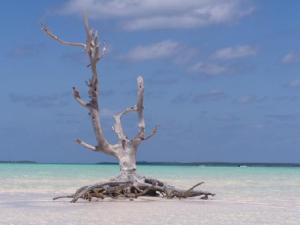 Lonely Tree Harbour Island Bahamas; Carla Franklin